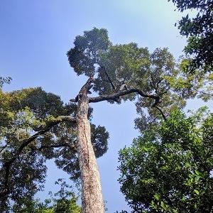Pod visoko drevo.